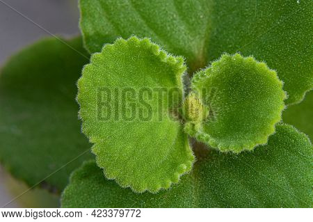 Plectranthus Amboinicus, Commonly Known As Oregano, Is A Tender & Thick Fleshy Perennial Plant , A H