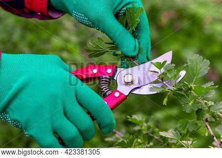 Pruning Bushes. Garden Work. The Pruner In The Hands Of The Gardener. Shears Work.