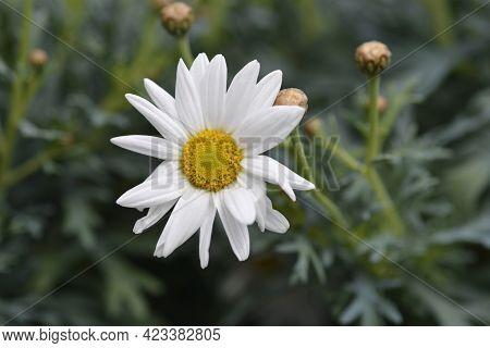 White Marguerite Daisy - Latin Name - Argyranthemum Frutescens