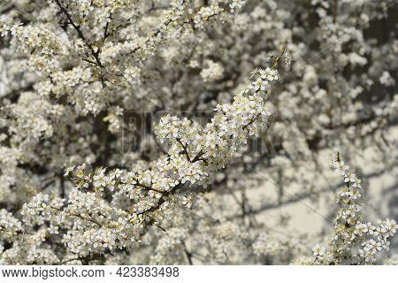 Cherry Plum Tree - Latin Name - Prunus Cerasifera