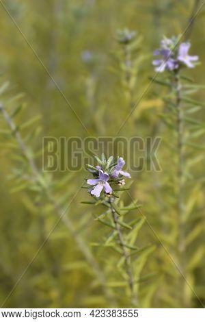 Coastal Rosemary - Latin Name - Westringia Fruticosa