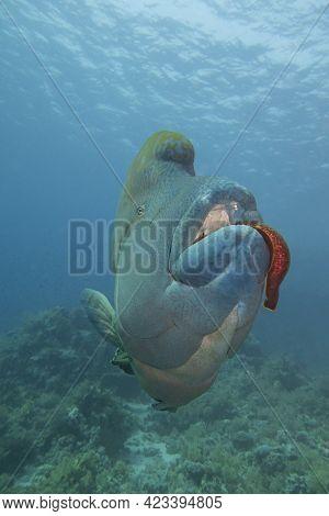 Closeup Of Large Napoleon Wrasse Fish Cheilinus Undulatus Feeding On Giant Moray Eel While Swimming