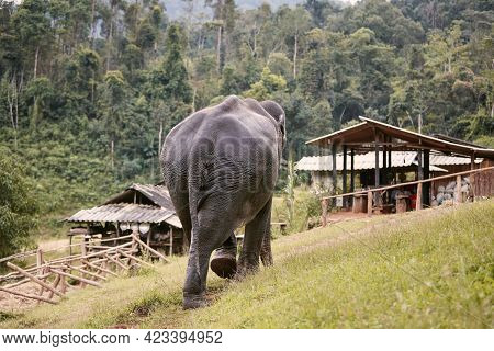 Large Elephant Walking On Footpath To Village Against Rainforest. Chiang Mai Province, Thailand.
