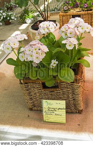 Moscow, Russia - May 16, 2021: Primula Variety Auricula Charles Rennie.  Exhibition In The Greenhous