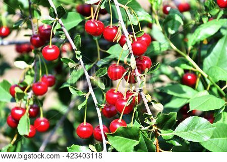 Ripe Cherry (latin. Prunus Subg. Cerasus)