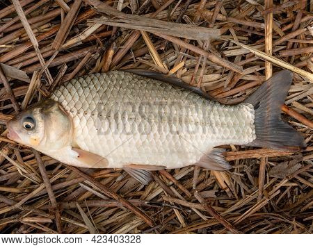 Golden Crucian Carp.fish From The Carp Family Caught In A Pond
