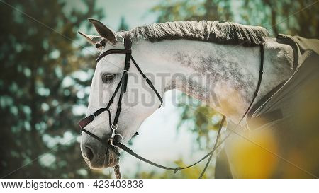 Portrait Of A Dappled Gray Horse With A Bridle On Its Muzzle And A Gray Horse Blanket On Its Back, W