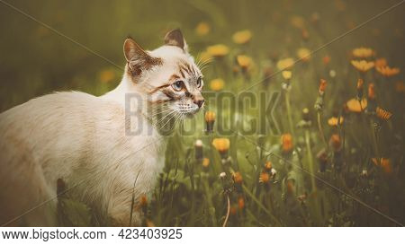 A Cute Tabby Thai Kitten Walks In A Meadow And Sniffs Blooming Yellow Dandelions On A Summer Day. Na