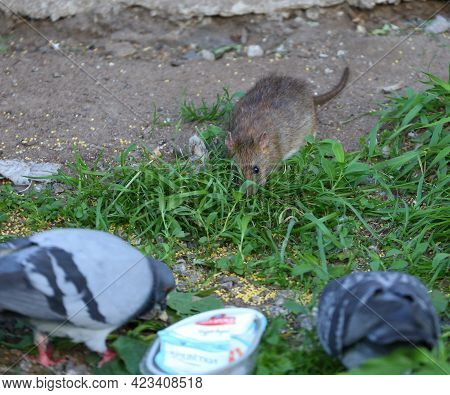 A Wild Rat, Along With Pigeons, Eats Millet Scattered In The Grass