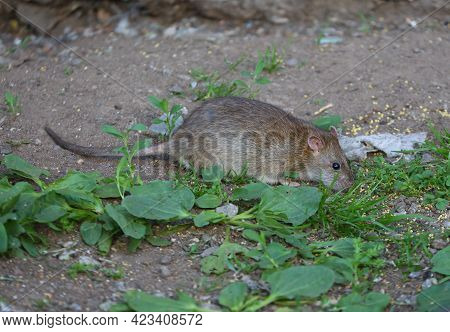 A Wild Rat Eats Millet Scattered In The Grass