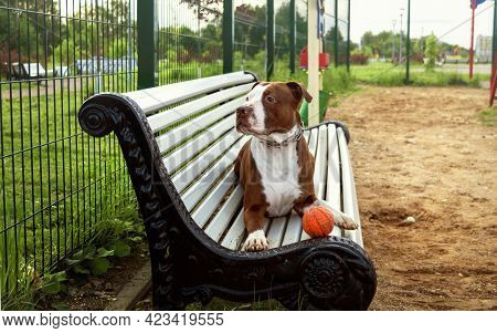 A Brown Dog Is Lying On A White Bench. A Brown Pit Bull In A Strict Metal Collar Lies On A Bench In