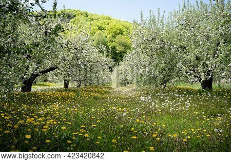 Perspective View Of Blossomed Apple Trees Row Arranged In Fruit Orchard With Green Grass Meadow Duri