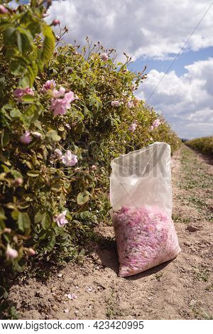 Closeup Perspective View Of Plastic Bag With Pink Rose Petals Handpicked In The Time Of Harvest Near