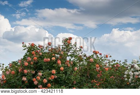 Front View Closeup Of Decorative Large Bush Of Orange Roses With Lot Of Branches Against A Blue Sky