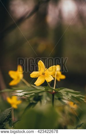 Beautiful Yellow Flower Of The Endangered Anemonoides Ranunculoides In The Odra River Area In Easter