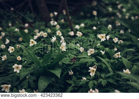 Detail Of White Blooms Of Anemonoides Nemorosa Rising From The Green Sea In The Area Around The Odra