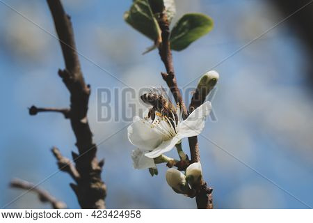 Spring Worker European Honey Bee Pollinates Cherry Blossoms With Her Body To Get The Nectar She Need