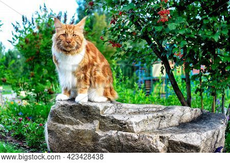 A Big Maine Coon Cat Sitting On A Rock In The Summer Forest.