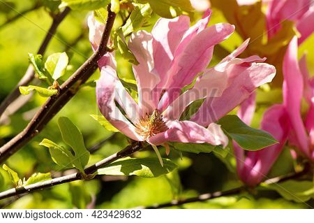 Closeup Photography Of The Beatiful Pink Magnolia,bathing In Sunlights.springtime Concept.floral Bac