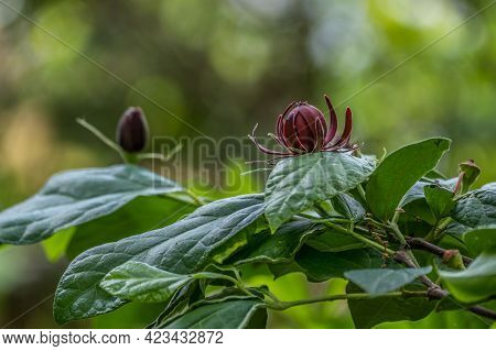 Also Known As Carolina Allspice A Shrub With Dark Red Flowers That Are Fragrant That Grows In The So