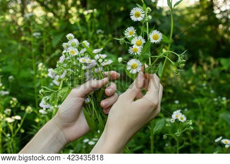 Female Hands Collect Chamomile On The Background Of Nature. Collect Flowers.