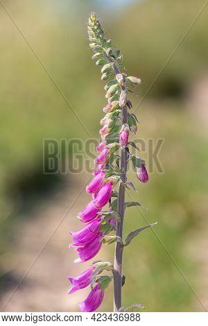 Common Foxglove (digitalis Purpurea) Flower