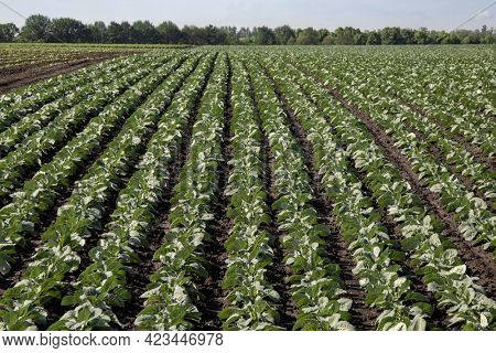 Young seedlings of green cabbage growing in a field of soil. Close up on sprouting agricultural broccoli on a field at sunset.