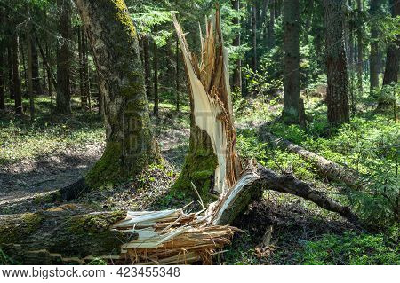 Trees Broken By A Storm In The Forest. Storm Damage. Fallen Trees In The Forest After A Storm. Broke