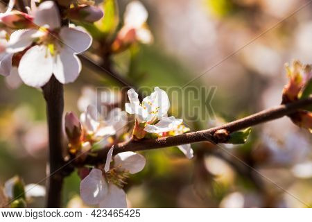 Blossoming Fragrant White Flowers On Branches Of Cherry (prunus Tomentosa) On Sunny Day In Spring Ga