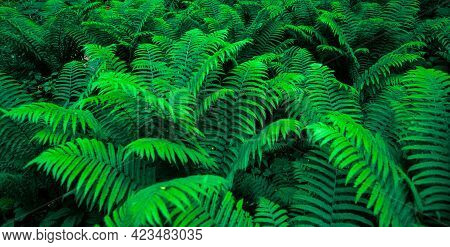 Forest Thickets Of Ferns. Botany Banner. Texture Background