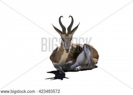 Springbok Lying Down Isolated In White Background In Kgalagari Transfrontier Park, South Africa ; Sp