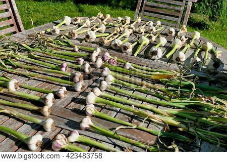 Home Grown Garlic Bulbs Laid Out On A Patio Table And Drying In The Sun - Hard Neck And Soft Neck Va