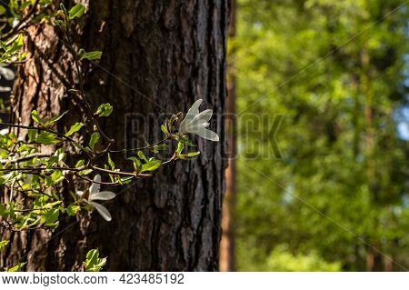 Creamy Magnolia Flower Blossoming At Pine Tree Background. White Magnolia Branch At Tree Trunk. Crea