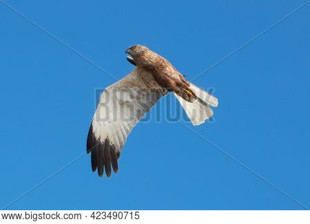 The Western Marsh Harrier Making Strange Face And Grimace In The Air And Appear To Be Flying With On