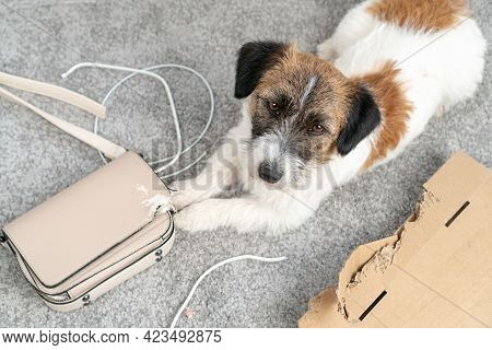 Jack Russell Terrier Dog Made A Home Mess, Left Alone, Chewed On His Bag, Phone Cable. Without The O