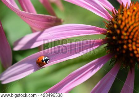 Red Ladybug On Echinacea Flower, Ladybird Creeps On Stem Of Plant In Spring In Garden In Summer. Pin