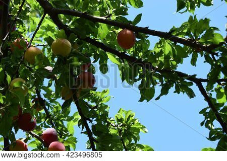 Plum Tree With Fruit. Closeup Of Delicious Ripe Plums On Tree Branch In Garden. Red Plum Fruits On B