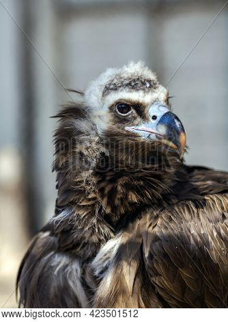Portrait Big Griff Black Aegypius Monachus Closeup. Large Raptorial Bird Also Known As The Black Vul
