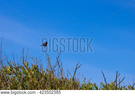 Small African Stonechat Standing On A Bush Branch Against The Vibrant Blue Sky. Landscape Photograph