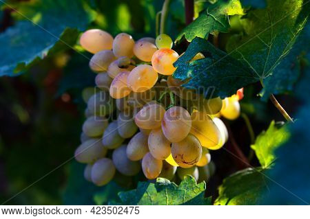 Grape Growing In Soft Light . Sweet Grape For Winemaking