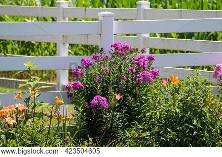 A White Picket Garden Fence With Bright Yellow And Pink Purple Blooming Wild Flowers.
