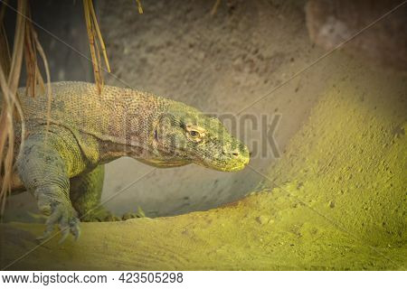 Monitor Lizard On Backyard Of Rustic Village. South Asia Fauna Near Human Settlement. Dangerous Wild