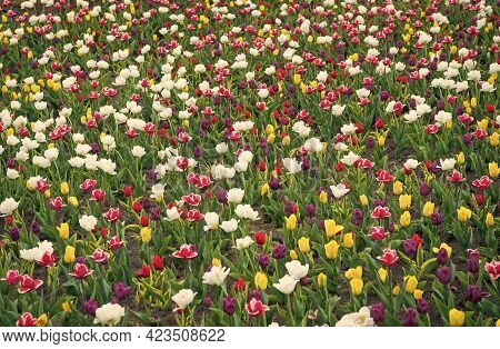 Making Your Life Bright And Colored. Nature Landscape In Europe. Fresh Spring Flowers. Gather The Bo