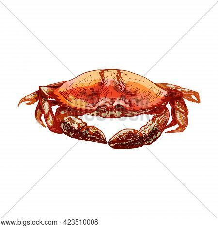 Crab Isolated On White Background. Vintage Hatching Vector Color Illustration. Hand Drawn Design In