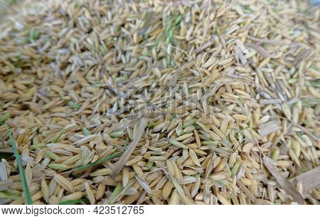 Rice Seeds - Close Up Details Of Rice Seeds, Dry Rice Seeds