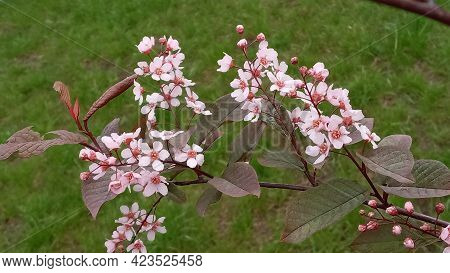 Blossom Tree Over Nature Background Spring Flowers Spring Background, Sakkura Bloom. Sakura Flowers