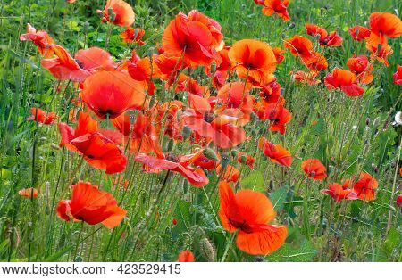 Field Of Red Poppies Flowers(papaver Rhoeas) Close Up. The Plant Is Also Known As Corn Rose, Common,