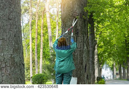 Caring For Age-old Trees In The Park. The Gardener Takes Care Of The Trees. Woman Cuts Shoots On The