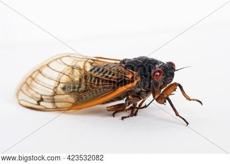 Dying Brood X Cicada Close Up