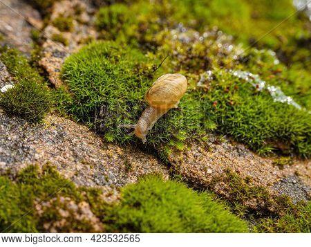 Young Edible Snail Or Escargot (helix Pomatia) Moves On The Moss.